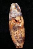 Fossilised Tooth  Gran Dolina