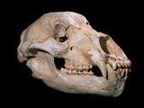 Bear Skull  Sima De Los Huesos