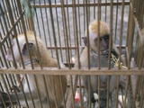 Monkey Trafficking