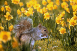 Grey Squirrel Amongst Daffodils Eating a Nut