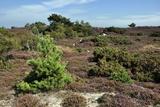 Studland Heath