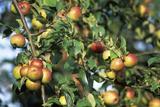 Organic Apples on Their Tree