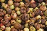 Rotting Apples