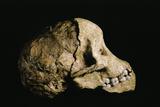 Tuang Child Skull