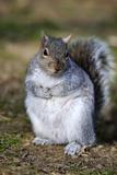 Grey Squirrel Sitting on the Ground