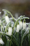 Snowdrops (Galanthus Sp)
