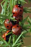 Seven-spot Ladybirds