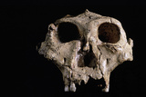 Australopithecus Robustus Skull