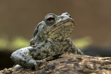 Male Common Toad