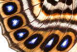 Macrophotograph of Agrias Claudina Wing