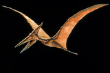 Artwork of the Pterosaur  Pteranodon Sp