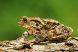 Common Toad Male