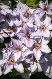 Clematis Flowers (Clematis Sp)