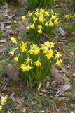 Daffodils (Narcissus Sp)