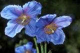 Himalayan Poppy (Meconopsis Grandis)