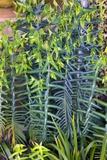 Spurge (Euphorbia)