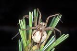 Nursery Spider