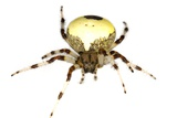 Marbled Orb-weaver Spider
