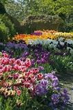 Tulip (Tulipa Sp) Borders