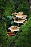 Shaggy Pholiota Fungi