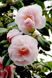 Camellia Flowers (Camellia Japonica)