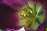Tulip (Tulipa Sp)