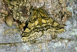 Brindled Beauty Butterfly