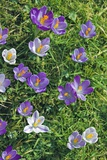 Crocus Sp