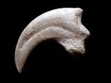 Fossilised Dinosaur Claw