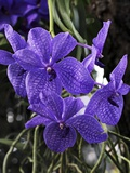 Hybrid Orchid Flowers