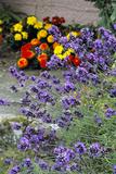 Lavender (Lavandula 'Hidcote')