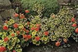 Garden Geraniums