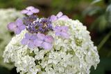Mixed Hydrangea Flowers