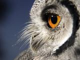 White-faced Scops Owl Eye