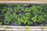 Strawberries In Homemade Cloche