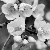 Crab Apple Flowers II