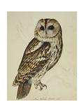 Brown Owl (Strix Ulula)