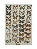 Thirty-three butterflies belonging to the Papilionidae and Danainae families