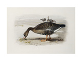 A White-Fronted Goose