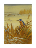 A Kingfisher Amongst Reeds in Winter