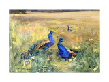 Peacocks in a Field