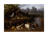 Ducks and Ducklings in a Stream