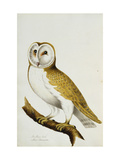 A Barn Owl  part of An Album of Watercolours of Birds and Their Eggs