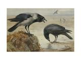 A Hooded Crow and a Carrion Crow Giclée par Archibald Thorburn