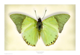 Common Green Charaxes