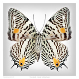 Clown Butterfly underside