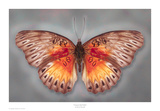 Common Red Glider