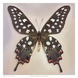 Madagascan Swallowtail
