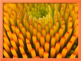 Pattern in Coneflower