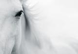 Caballo Blanco II Giclée par Shana Rae